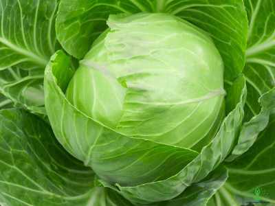 10 Surprising Facts about Cabbage
