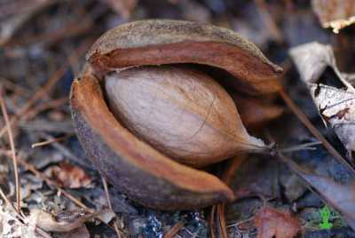 7 Benefits of hickory nuts