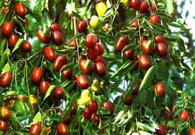 9 Advantages of Jujube