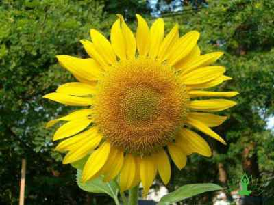 Why sunflower is actually a healthy food
