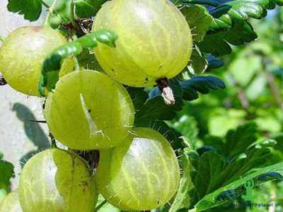 11 Amazing Facts about Gooseberry (Amla)